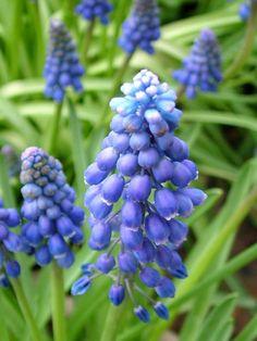 grape hyacinth - deer resistant : B