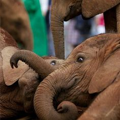 I love them. !! @elephilia -  By @sheldrickwildlifetrust #Elephilia   For info about promoting your elephant art or crafts send me a direct message @elephant.gifts or emailelephantgifts@outlook.com  . Follow @elephant.gifts for inspiring elephant images and videos every day! . .  #elephant #elephants #elephantlove