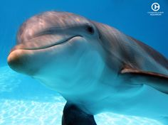 We believe in preserving our environment while inspiring the human spirit through leadership in the rescue, rehabilitation, and release of marine life. Pretty Animals, Cute Baby Animals, Animals And Pets, Pretty Fish, Cool Fish, Dolphin Tale 2, Clearwater Marine Aquarium, Dolphin Photos, Bottlenose Dolphin