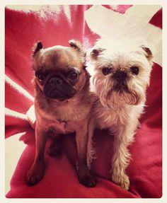 Honey & Owen #brussels #griffon