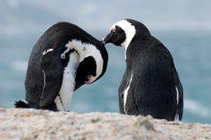 Boulders Beach is een strand nabij het plaatsje Simonstown aan de oostkant van het Kaapse schiereiland. Het strand waarop grote granieten blokken liggen, wordt door een kolonie Afrikaanse pinguins bevolkt. In 1982 kwamen er twee paar pinguïns aan, maar op dit moment bestaat de populatie al uit meer dan 3000 vogels.