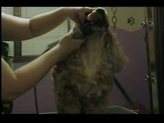 How to Groom a Cocker Spaniel. Cocker Spaniels are beautiful dogs and fun to have as pets, but they require regular and thorough grooming. Fortunately, most Cocker Spaniels actually enjoy being groomed, so chances are good that your dog... #doggroomingtools