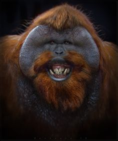 Orangutan's school picture day....say cheese.  Think he needs his dental appt.!!