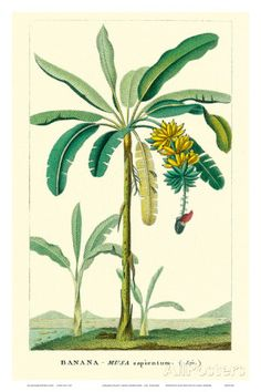 Banana Tree, Botanical Illustration, c.1855 Art Print