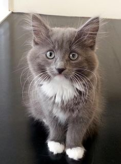Her name is Penny and she's half Nebelung, half Persian.