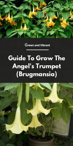 Guide To Grow The Angel's Trumpet (Brugmansia) - Modern Angel Trumpet Plant, Angel Plant, Fast Growing Plants, Growing Gardens, Gardening For Beginners, Gardening Tips, Indoor Gardening, Container Gardening, House Plants