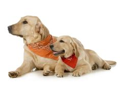 adult dog and puppy wearing bandanas laying down looking off to the side isolated on white background Poster. I Love Dogs, Puppy Love, Cute Dogs, Spray Anti Puce, Lab Puppies, Mammals, Best Dogs, Bandana, Dog Lovers