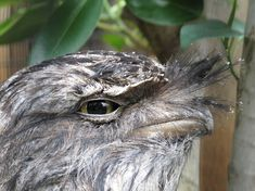 Introducing The Frogmouth