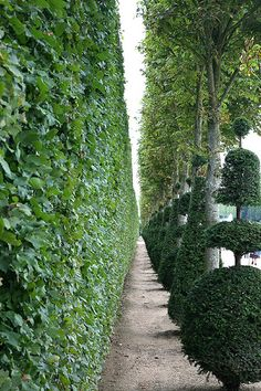 love the line of elegant whimsical topiary, between an avenue of trees and against a backdrop of clipped hedge | Chateau de Versailles