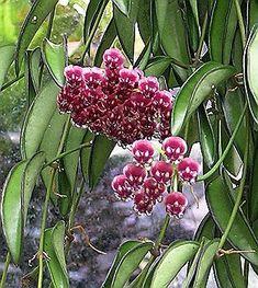 Hoya angustifolia' flowers
