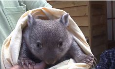 Baby Wombat Loses Mom, Gets Second Chance (Video)