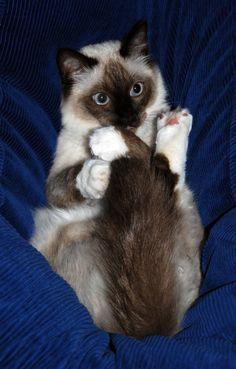 Bobo the ragdoll cat (by Joybelle007) so cute looks like my Lydia #ragdollcatbig