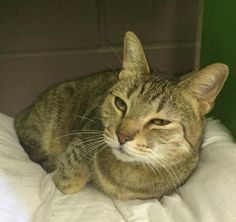 Jeeves is an affectionate, cuddle minded, middle aged male who loves to love. He's UTD on vaccines, neutered, and microchipped. This sweet brown tabby has been at the shelter for a long time. Well before we took over in Aug. but he's sooo sweet. Call Call 830-899-2527 in Startzville, TX