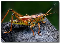 eastern lubber grasshopper -  see more beautiful insects from North America