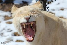 White Lion - Toronto Zoo - Worth1000 Contests - 10th place (out of 67) - Zoos - 2013