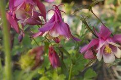 Аквилегия (Aquilegia) или водосбор – неприхотливое декоративное цветущее растение, которое насчитывает более 120 различных видов и сортов и является прекрасной культурой для озеленения и украшения при...