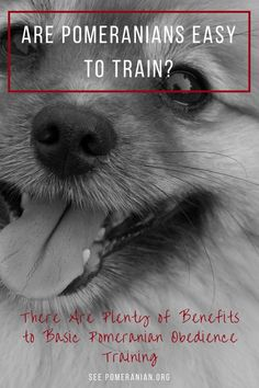Pomeranian Training made easy #dochlahhie #pomeranian Pomeranian Facts, Pomeranian Dogs, Pomeranians, Dog Information, Cute Funny Dogs, Dog Facts, Dog Training Tips, Puppies, Pets