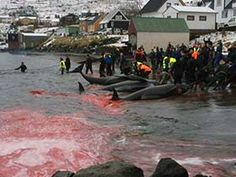 Danish Navy Seize Sea Shepherd Small Boat http://www.shetnews.co.uk/news/11334-danish-navy-seize-sea-shepherd-small-boat The Killing Continues. More Pilot Whales Slaughtered on the Shores of the Faroe Islands. http://www.seashepherd.org/news-and-media/2015/12/01/the-killing-continues-more-pilot-whales-slaughtered-on-the-shores-of-the-faroe-islands-1774