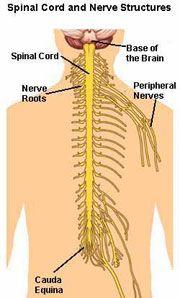 Nerve Diagram