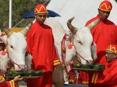 """""""O Grito do Bicho"""": Búfalos sagrados preveem temporada de chuvas na Ta..."""