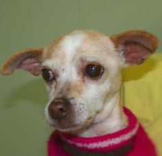 Venus is an adoptable Chihuahua Dog in Hastings, NE. Venus - F - 3-4 years old - Chihuahua Venus is currently our office dog. She greats us every morning with a wagging tail and a big smile. She's ver...