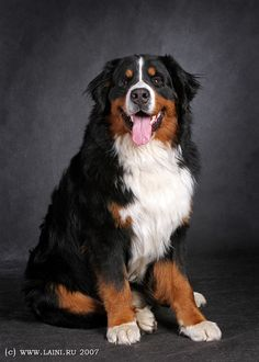 Bernese Mountain Dog. I WILL have one some day