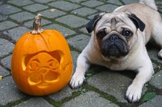 Jack-o-lantern, pug-o-lantern, Halloween