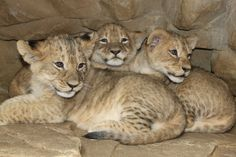 Omaha's Henry Doorly Zoo & Aquarium named their 3 lion cubs Kayode, Shango, and Kimani. / KETV News Animals And Pets, Baby Animals, Omaha Zoo, 3 Lions, Amur Leopard, Thunder And Lightning, Lion Cub, Prehistoric Creatures, Cat Breeds
