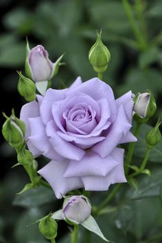 Beautiful Rose Flowers, Flowers Nature, Amazing Flowers, Beautiful Flowers, Beautiful Pictures, Purple Lilac, Purple Roses, Lilac Flowers, Orange Roses