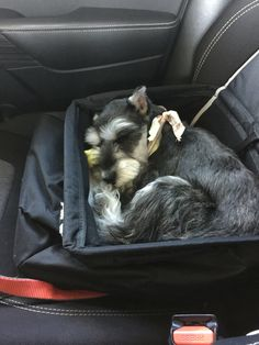 Mini schnauzer in a car seat