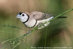 Photography Gallery, Wildlife Photography, Finches, Australian Birds, Horse Pictures, Blue Mountain, Mark Making, Grass, Horses