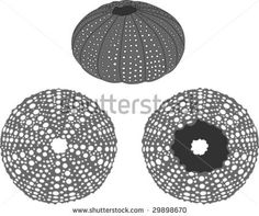 sea urchine art | Sea Urchin Vector - 29898670 : Shutterstock