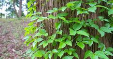 get rid of poison ivy plant or vine growing up a tree trunk before it get out of control Poison Ivy Killer, Poison Ivy Vine, Kill Poison Ivy, Poison Ivy Plants, Poison Oak Remedies, Herbal Remedies, Natural Remedies, Poison Sumac Plant, Poison Oak Rash