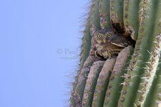 A Cactus Ferruginous Pygmy-Owl, Glaucidium brasilianum, prepares to leave his Gila Woodpecker-created nest cavity in a saguaro cactus.