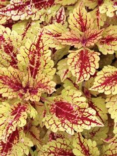Coleus 'Color Clouds™ 'Honey Pie' Plus Foliage Plants, All Plants, Shade Plants, Garden Plants, Begonia, Container Plants, Container Gardening, Heuchera, Summer Garden