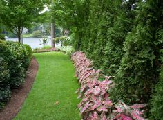 mixed caladiums w/Leyland cypress
