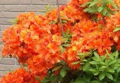 Orange Rhodedendrum