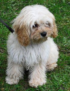 The Cutest Tibetan Terrier :-) | ishabluebell | Flickr