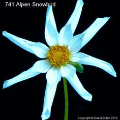 Alpen Snowbird  Orchid White
