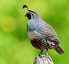Image result for california quail nz