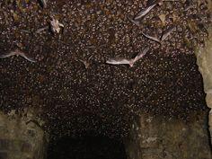 Bats at Golconda Fort