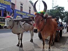 Índia - Tamil Nadu - Madurai Madurai, Cow, Animals, South India, Travel, Pictures, Animales, Animaux, Cattle