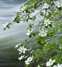 pacific dogwood - Google Search