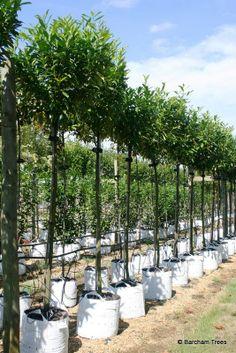 Prunus Caucasica at Barcham Trees