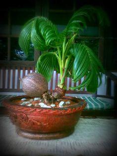 Bonsai Fruit Tree, Bonsai Art, Bonsai Garden, Fruit Trees, Bonsai Flowers, Succulent Pots, Cacti And Succulents, Planting Succulents, Potted Plants