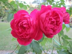 Louis Philippe rose -- the only rose I had when I moved to Mississippi, and the only one I was able to take with me to Virginia.