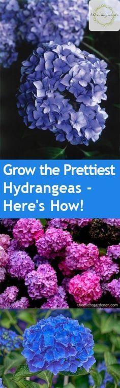 Grow the Prettiest Hydrangeas — Here's How! Growing Hydrangeas, How to Grow Hydrangeas, Hydrangea Growing Tips and Tricks, Flower Gardening, Flower Gardening Hacks, Gardening 101, Outdoor DIY, Outdoor Projects