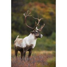 Bull Caribou On Autumn Tundra In Denali National Park Interior Alaska Canvas Art - Milo Burcham Design Pics (11 x 17)