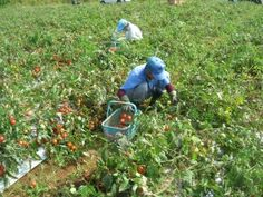津南町 加工用トマト収穫隊