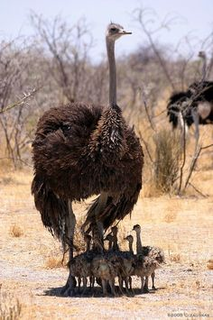 Ostrich Chicks in Etosha National Park Namibia
